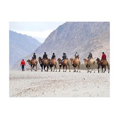 """""""Double humph camel ride in Nubra Valley. . #official_photographers_hub #theindianroute #Yourshot_India #streetsofindia #travelgram #travelersnotebook #indiatourism #ladhak #travelblogger #travelphotography #travelgram #travelens #selvamks #travellers #traveller #desert #camel #photojournalism #photojournalist #ladhak #lehladakh #vacation #fun"""" by @selvamks. #fslc #followshoutoutlikecomment #TagsForLikesFSLC #TagsForLikesApp #follow #shoutout #followme #comment #TagsForLikes #f4f #s4s #l4l…"""