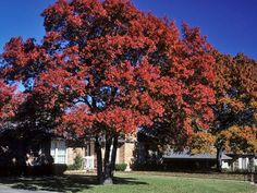 Shumard oak. Scientific Name: Quercus shumardii. Shumards oak is a pyraminal tree, growing 50-90 ft. and becoming more open at maturity. Bark is thick, smooth and grayish, becoming furrowed and darker gray. The columnar trunk is frequently buttressed at the base. Leaves frequently turning scarlet in the fall, up to 7 inches long. Acorns almost as wide as long, 3/4 to 1 inch long when mature with a broadly rounded apex and a flat base.: