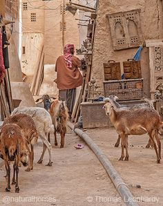 Estas son las casas de adobe de ocho pisos y 500 años de antigüedad de Shibam en Yemen. La ciudad es patrimonio mundial de la UNESCO. Las paredes de adobe se van haciendo más finas hacia la parte superior del edificio para reducir la presión sobre las paredes inferiores. Más, incluyendo un video, en www.naturalhomes.org/es/homes/shibam.htm