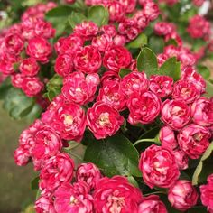Looks like tiny rose buds. Robin Bird Tattoos, Flowering Trees, Instagram Images, Instagram Posts, Rose Buds, Scarlet, Pink Flowers, Twitter, Plants