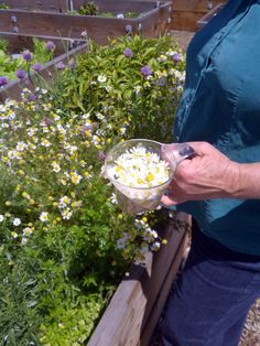 Harvesting chamomile with co-owner, Elaine St. Clair.
