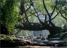 in one of the wettest places in the world, people train the roots of strangler figs to create living bridges, meghalaya, india.