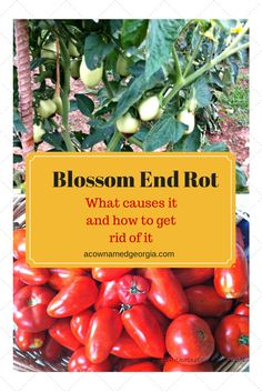Blossom End Rot - What causes it and how to correct it.