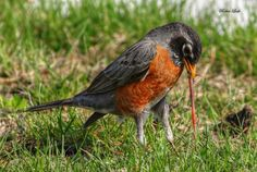 A Robin dining in my front yard :), by Waterlily