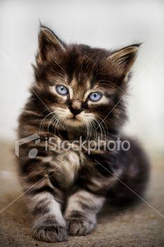 Mancoon kitten !!