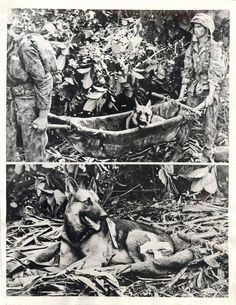 """1943- """"Caesar"""", a German Shepherd dog, is carried back from the front lines in a litter by two Marines after he was wounded in action in the battle of Bougainville."""
