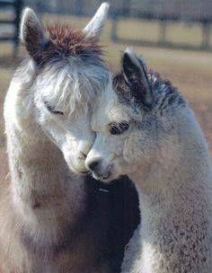 alpaca, mom and baby!!<3