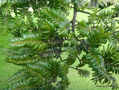 Taranaki Educational Resource: Research, Analysis and Information Network - Prumnopitys ferruginea (Miro) Research, Banks, Plant Leaves, Trees, Education, Search, Tree Structure, Onderwijs, Learning