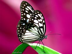 butterfly - I'd love to make a butterfly wing cane like this.