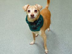 Lovables: Manhattan Center ***NEW PHOTO***  My name is TRUKY. My Animal ID # is A0993531. I am a neutered male tan and white chihuahua sh. The shelter thinks I am about 14 YEARS old.  I came in the shelter as a OWNER SUR on 03/09/2014 from NY 10453, owner surrender reason stated was NEW BABY.  https://www.facebook.com/photo.php?fbid=771203532892528&set=a.611290788883804.1073741851.152876678058553&type=3&theater