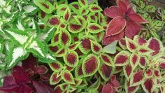 Our coleus was great this year with the cooler temps and extra rain...great value for color