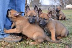 Cher Car Kennels has been breeding dogs for lives of significance and service since Our breeding stock is selected on the basis of sound temperament, longevity and health; and all are OFA certified. Malinois Puppies For Sale, Belgian Malinois Puppies, Belgium Malinois, Military Working Dogs, Belgian Shepherd, Dog Show, Furry Art, Dog Breeds, Law Enforcement