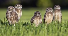 A burrowing owl killed in New Mexico has prompted wildlife officials to place several patrols in the area. According to experts, the burrowing owl was shot Owl Photos, Owl Pictures, Animals Photos, Random Pictures, Florida Everglades, Weird Birds, Owl Shower, Shower Ideas, Owls