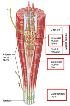 Muscle Spindle, GTO, and the neurophysiological response to stretch! Wish I found this earlier when I was studying this for the boards