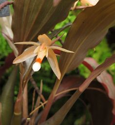 National Capital Orchid Society 66th annual show & sale at Behnke Nurseries  Coelogyne incrassata   Flickr - Photo Sharing!