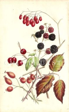BLACKBERRIES, HAWS, HIPS AND BERRIES OF THE WOODY NIGHTSHADE. Louisa Anne Twamley. Chromolithograph from 'The Romance of Nature'. 1836