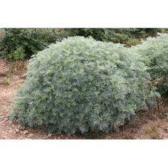 """Artemisia abrotanum var. maritima """" Coca Cola """""""