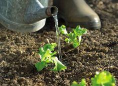 Comment arroser les légumes, espèce par espèce  L'eau est une denrée précieuse, nécessaire à vos légumes, mais leur en apporter trop risque de les rendre insipides ! Apprenez à gérer vos apports selon la saison, votre région et les besoins réels des plantes. Irrigation, Water Garden, Herb Garden, Permaculture Design, Green Tips, Plantar, Plantation, Horticulture, Jars