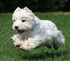 """The hardy West Highland White Terrier, more commonly known as the """"Westie,"""" is known for its friendly, strong-willed personality and a remarkably bright white coat. Said to be """"all terrier,"""" this breed possesses a large amount of spunk, determination and devotion stuffed into a compact little body."""