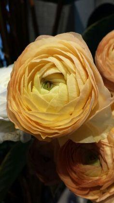 Ranukler Cabbage, Vegetables, Rose, Flowers, Plants, Pink, Cabbages, Vegetable Recipes, Plant
