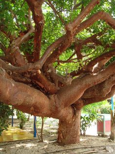in Bonaire, Dutch Caribbean. Some of the branches look thicker than the trunk!!