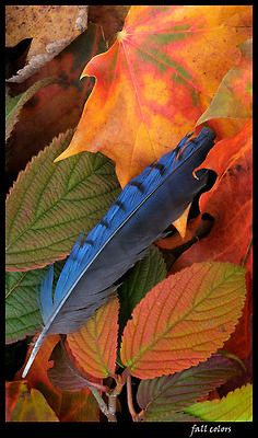 Mother Nature's Art - the contrast of the Blue Jay's feather resting in the Autumn-colored leaves