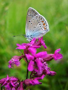 fiori primaverili - le farfalle primaverili