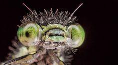 Wonderlijke ogen van juffers