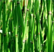 Horsetail Reed - This horsetail plant makes a great modern hedge between two yards