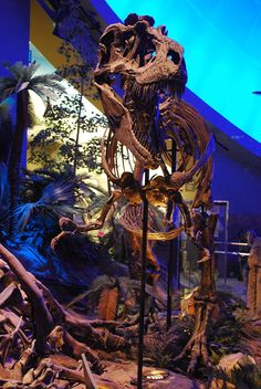 Squelette monté d'un  Gorgosaurus, the Children's Museum of Indianapolis. Dinosauria, Saurischia, Theropoda, Tyrannosauroidea, Tyrannosauridae, Albertosaurinae. Auteur : AStrangerintheAlps.