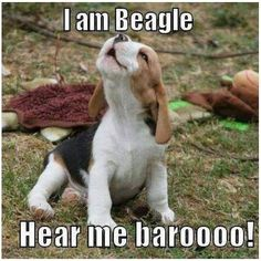 Are you interested in a Beagle? Well, the Beagle is one of the few popular dogs that will adapt much faster to any home. Art Beagle, Beagle Funny, Dachshund Funny, Beagle Dog, Funny Dogs, Funny Animals, Cute Animals, Funny Humor, Animal Funnies