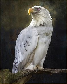 GOLDEN EAGLE NEW 24X36 PRINT IMAGE PHOTO -RW0 WEST COAST CHOPPERS POSTER
