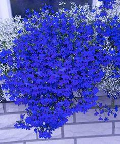 Lobélia ´Deep Blue Star´ Shade Garden Plants, Blue Plants, Exotic Plants, Exotic Flowers, Blue Flowers, Garden Yard Ideas, Garden Projects, Garden Pots, Flowers Perennials