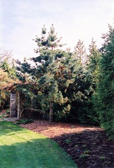 Click to view full-size photo of Vanderwolf's Pyramid Pine (Pinus flexilis 'Vanderwolf's Pyramid') at Connon Nurseries CBV