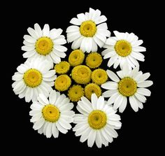 Making daisy from daisies by Zafer Ateşci on 500px