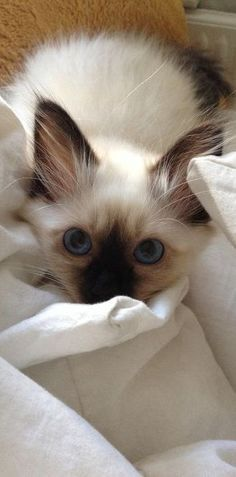 For More   Cat Toys    Click Here http://moneybuds.com/Cat/ #fluffycatsbreeds