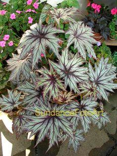 American Begonia Society - Rhizomatous Begonias