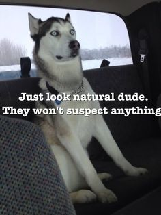 The post Casual husky. appeared first on Gag Dad. The post Casual husky. appeared first on Gag Dad. Funny Husky Meme, Dog Quotes Funny, Funny Animal Jokes, Dog Memes, Funny Animal Pictures, Cute Funny Animals, Funny Dogs, Animal Pics, Funny Puppies