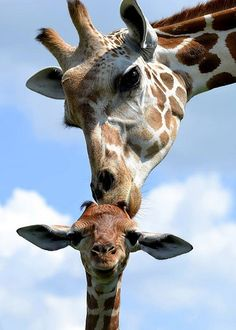We've gathered our favorite ideas for Animals Cute Baby Animals Giraffe Zooborns Giraffe Calf, Explore our list of popular images of Animals Cute Baby Animals Giraffe Zooborns Giraffe Calf. Cute Baby Animals, Animals And Pets, Funny Animals, Wild Animals, Giraffe Art, Cute Giraffe, Giraffe Pictures, Animal Pictures, Beautiful Creatures