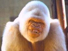 Snowflake (c. 1964 – November 24, 2003) who loved to smile, was the only known albino gorilla - so far.