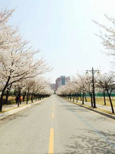 This road toward domitories surrounded with beautiful cherry Blossom