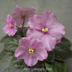 Aca's Happy Star (8867) 06/13/2000 (J.Brownlie) Semidouble pink bell. Medium green, plain/red back. Semiminiature.