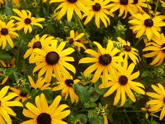 Black Eyed Susans by RuralDriveBy on Etsy