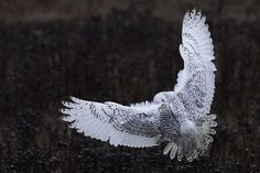 {Snowy Owl landing}