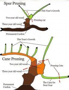 How to Prune a Grape Vine   Pruning prevents the vine from growing too much foliage, which in turn, amounts to not enough fruit. A well-pruned vine is given maximum exposure to sunlight, air circulation and maintenance.These factors create an atmosphere less likely to harbor diseases or pests. Knowing how to prune a grape vine correctly will increase your productivity and quality of the crop.