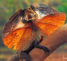 Australian animals The Frill Necked Lizard Animals And Pets, Cute Animals, Large Lizards, Australian Animals, Reptiles And Amphibians, Wild Ones, Creature Design, Pictures Images, Woodland Animals