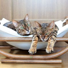 Good morning everyoneIt's raining here today Bengal cat Riku(陸)-chan & Bengal cat Kai(海)-chan Keep going!!  今日も雨だね 雨の日はハンモックで休憩だね  #cat #instacat #chat #gato #greycat #catstagram #catlover #catsofinstagram #WeeklyFluff #cats_of_world #catsofworld #Padgram #cutepetclub #catloversclub #catswiththeirtonguesout #excellent_cats #igcutest_animals #IGersJP #cats_of_instagram #bengalcatworld #IG_Bengals #bengal #snowbengal #canon #1dx #tokyocameraclub #東京カメラ部 #猫 #ふわもこ部 by aosorafuu.888