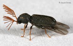 Death Watch Beetle   death-watch beetle - Ptilinus ruficornis - male