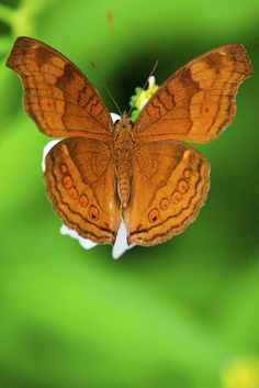 Chocolate Pansy | Flickr - Photo Sharing!