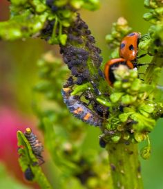 Insects To Attract For Ecological Balance :: Permaculture :: Plant Fennel, Cilantro, Sunflowers, Yarrow Diy Garden Projects, Garden Tips, Garden Ideas, Permaculture Design, Growing Veggies, Lady Bugs, Plant Nursery, Composting, Fruit And Veg